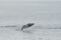 Minke Whale breaching off the Isle of Harris.