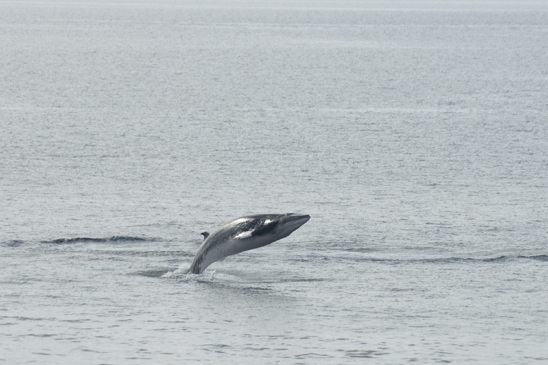 Minke Whale breaching off the Isle of Harris.