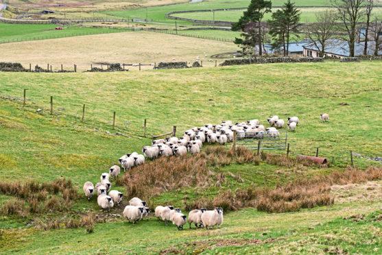 NSA Scotl;and chair Jen Craig and sheep at Normangill Farm in the Borders