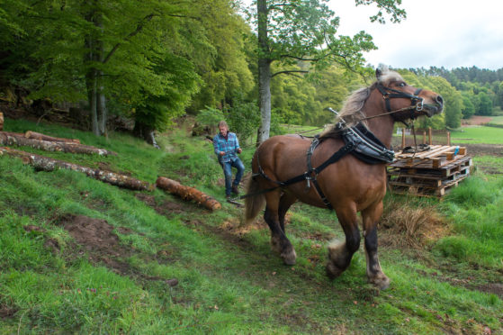 Simon Dakin and his horse 'Tarzan' are pictured extracting timber for the saw mill.  Pictures by Jason Hedges