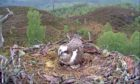 First glimpse of the Osprey chick in Loch Arkaig.