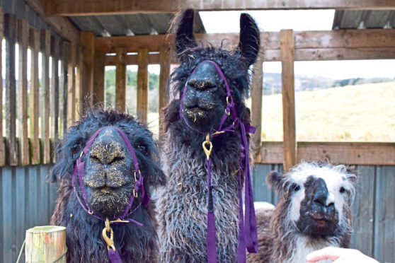 Llama Trekking, submitted pics for Your Life 15/06/19