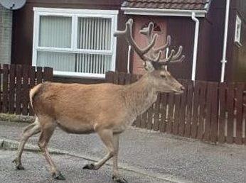 The deer walking down Grant Place.
