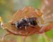 Ant-nest hoverfly near Grantown-on-Spey
