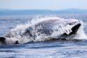 A feeding minke whale. Pic: Michael J Tetley