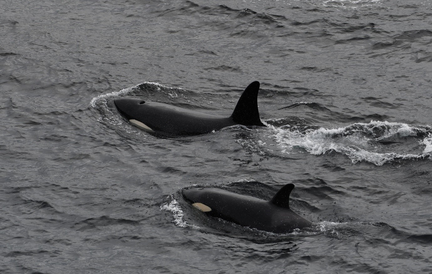 Orcas  photographed off Burwick, on May 25, 2019. Photo credit: Robert Foubister.