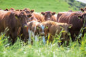 Courier - Features - Nancy Nicolson - Luing Cattle Open Day story - CR0011365 - Anstruther - Picture Shows: Herd of Luing Cattle in field. Balcaskie Estate will be hosting the Luing Cattle Society open day this month. - Monday 8th July 2019 - Steve Brown / DCT Media
