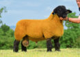 The Birness ram lamb that sold for 43,000gn.