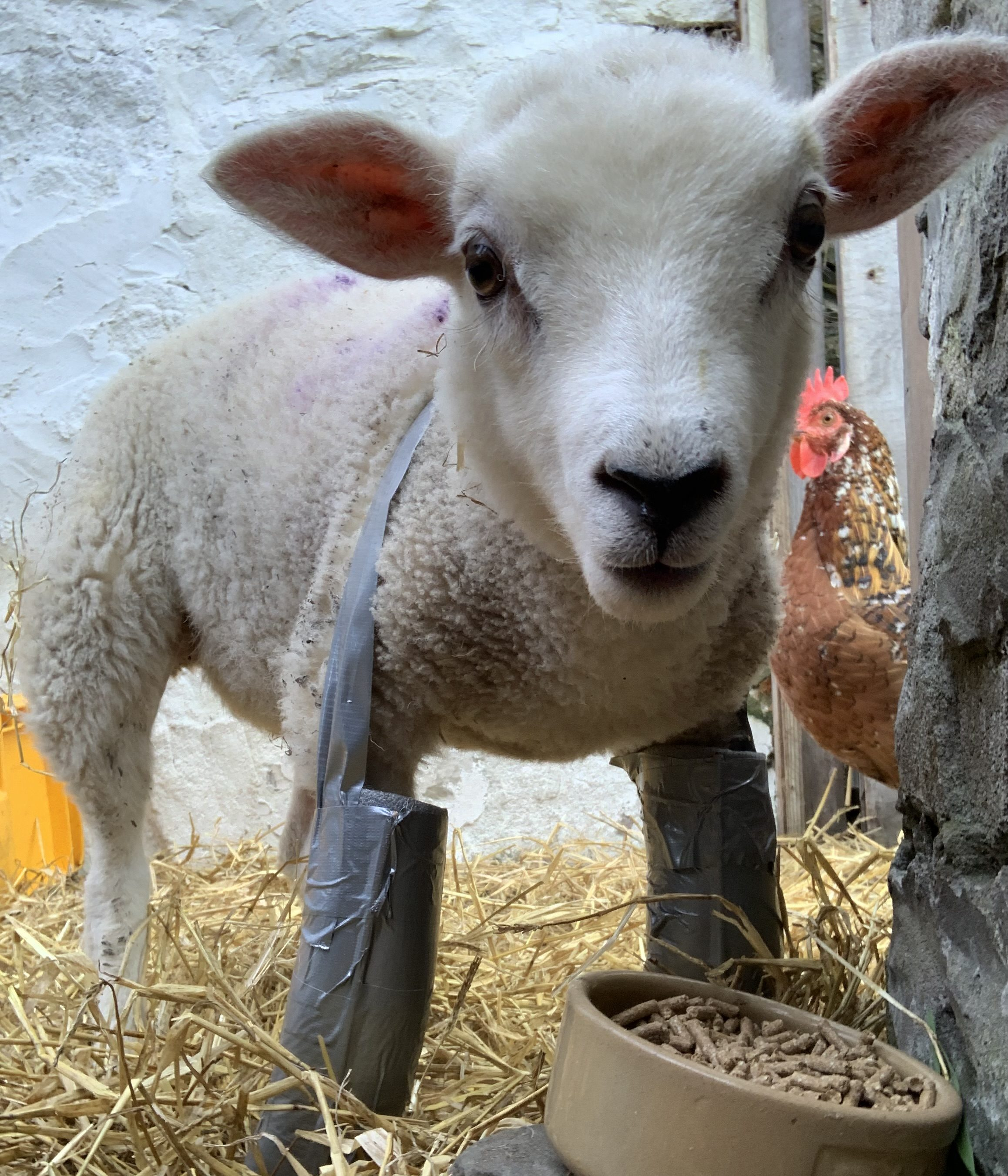 """Blossom the lamb and her """"bionic"""" legs"""