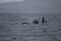 The mystery pod of whales were spotted from the charities yacht near Vatersay in the Western Isles last year.