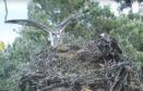 The ospreys