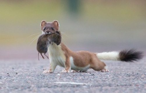 Non-native stoats have wreaked havoc on the Orkney Islands threatening native species such as the Orkney vole.