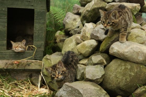 Wild cat kittens with their mother at Aigas Centre Beauly