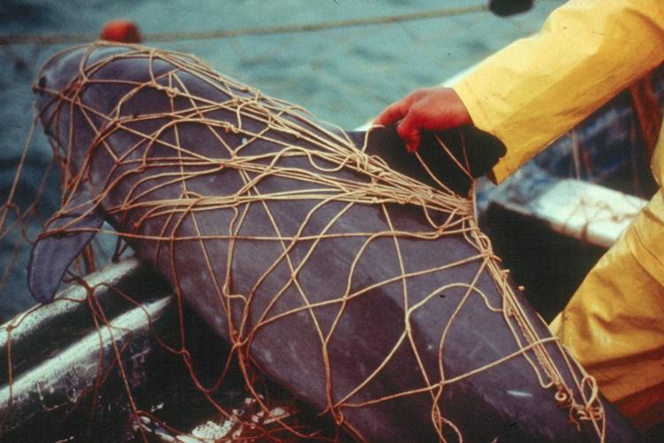A dead vaquita caught in a gill net