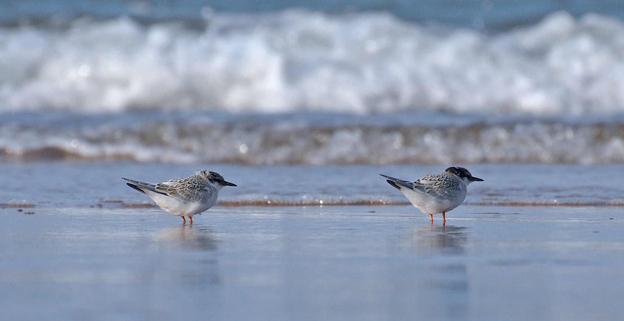 Little tern chicks venture close to the water near Lossiemouth. Picture: Margaret Sharpe.