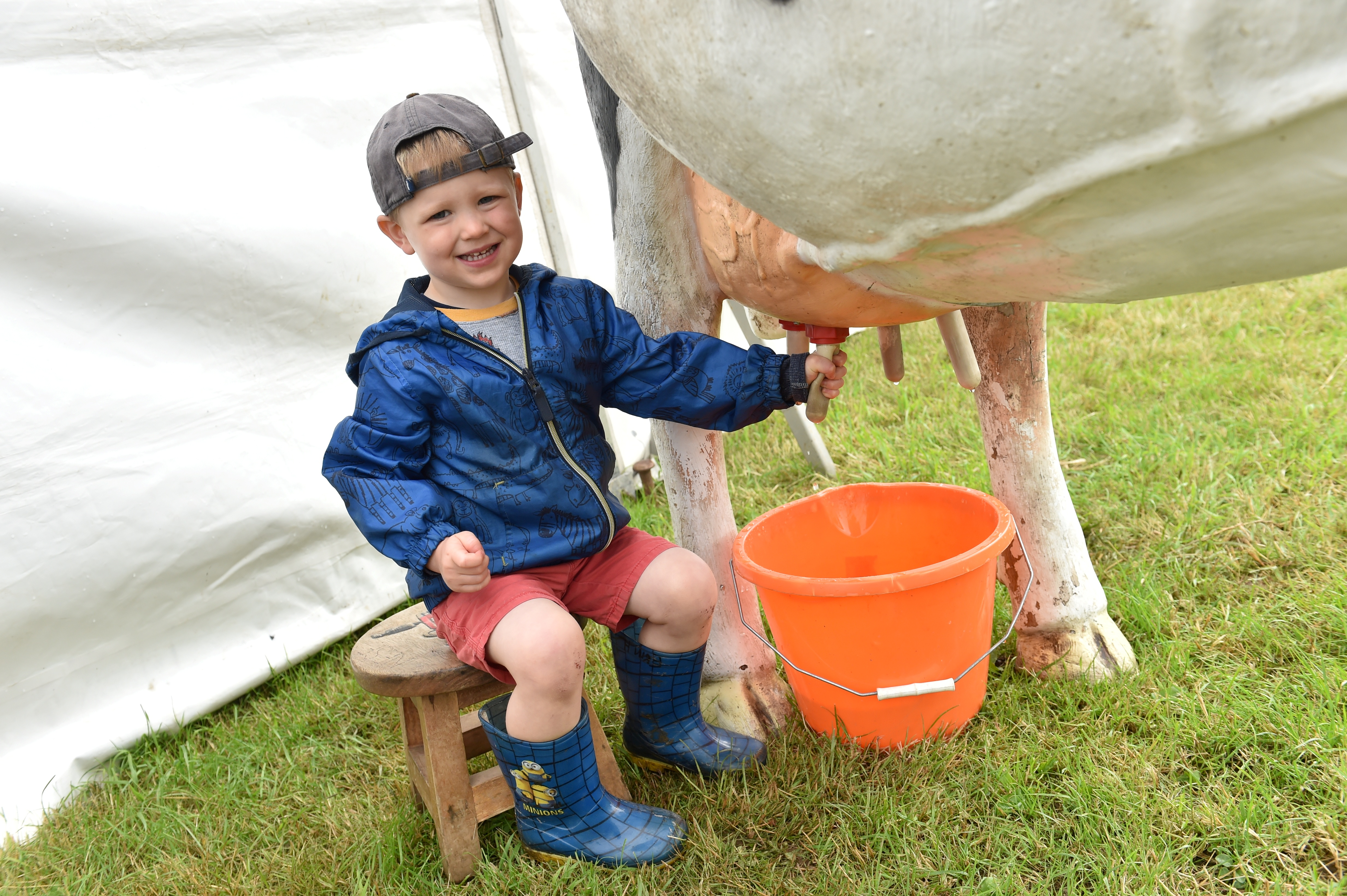 Harry Scott, 3 tries his hand at milking. Picture by Colin Rennie