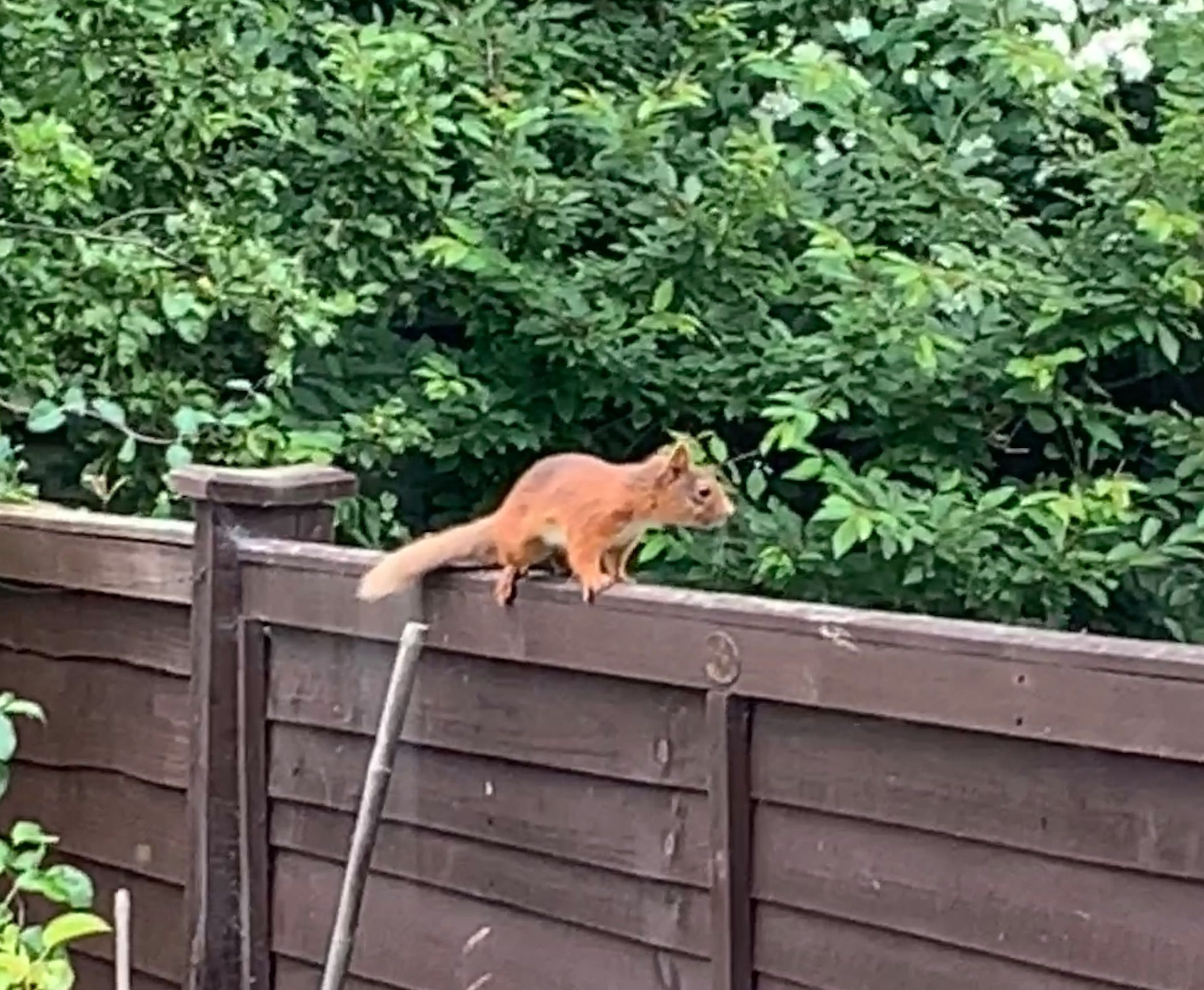 A red squirrel was spotted in an Aberdeen garden.