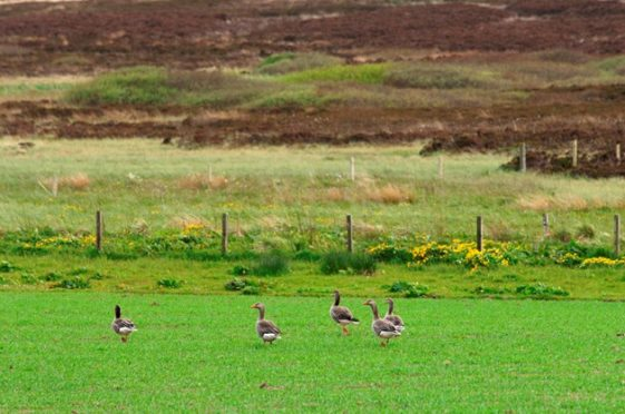 Greylag geese grazing on a cereal crop in Orkney. SNH Lorne Gill