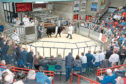 An entry of 50 cattle is forward for the show and sale.