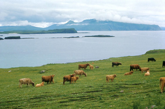 Highland cattle on Canna, Inner Hebrides.
