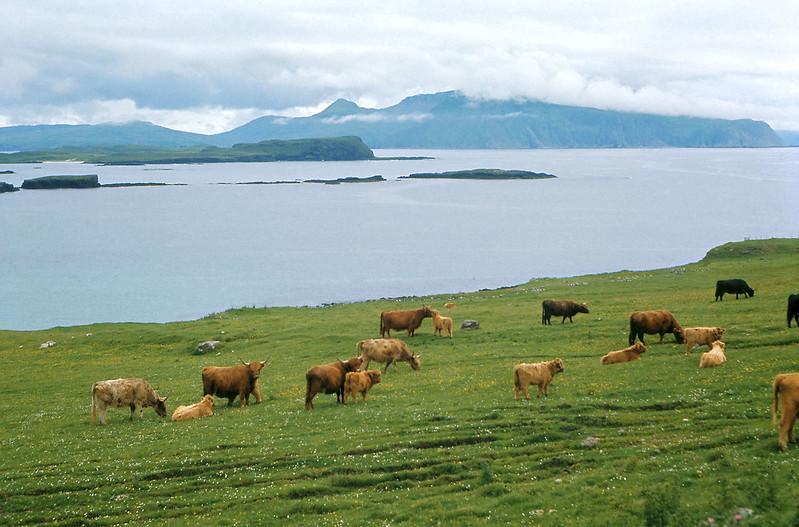Highland cattle on Canna, Inner Hebrides.