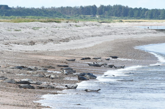 The seals at Portgordon. Picture by Jason Hedges
