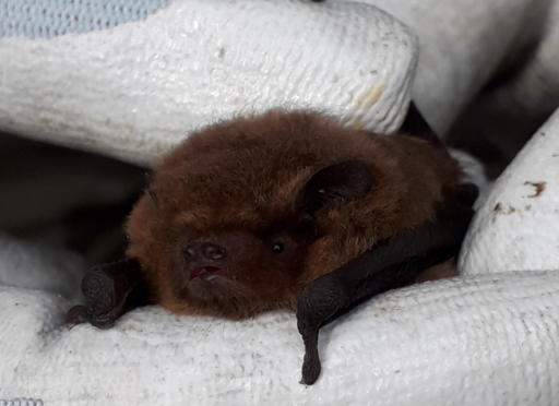 Record bat numbers have been recorded at Haddo House