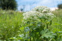The sap of hogweed causes phytophotodermatitis in humans, resulting in blisters and long-lasting scars.