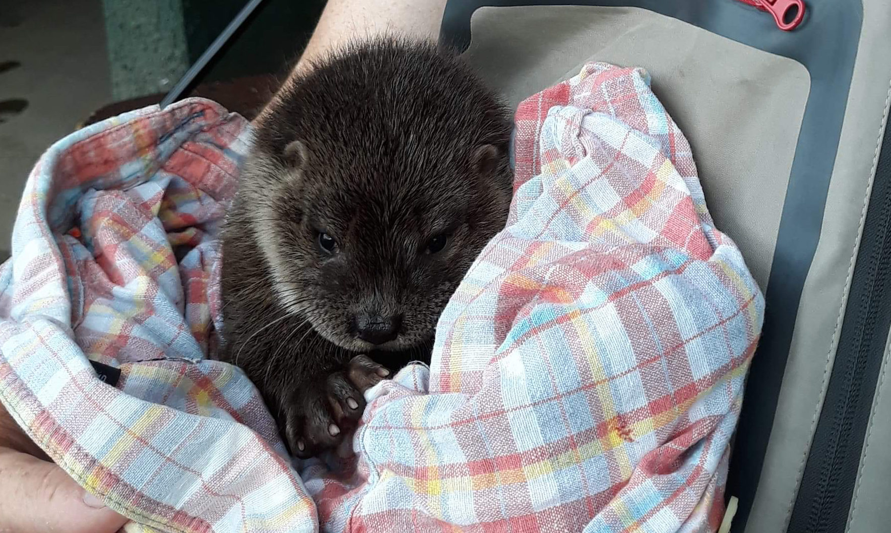 The otter cub.