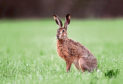 Wildlife, such as this brown hare, has to be protected under changes, say conservationists.