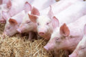 Import tariffs for pork will greatly reduce in the event of a no-deal Brexit.    Pic  Alan Richardson Dundee, Pix-AR.co.uk QMS  East Pitscaff Farm Newburgh Aberdeenshire