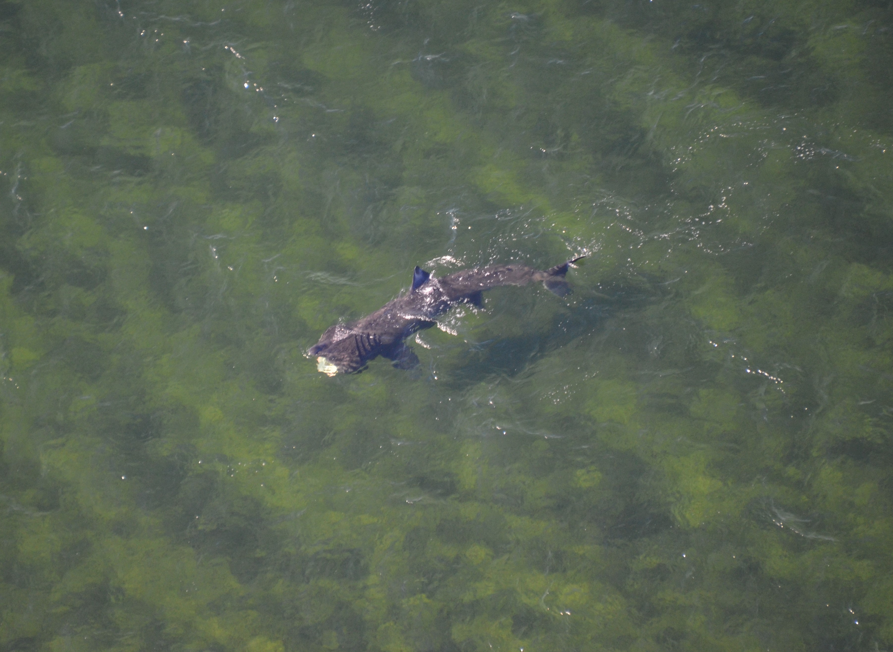 The group of basking sharks were spotted off the Moray coast between Burghead and Findhorn.