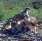 It's an osprey family affair as 62,000 click onto see the live action from the nest.