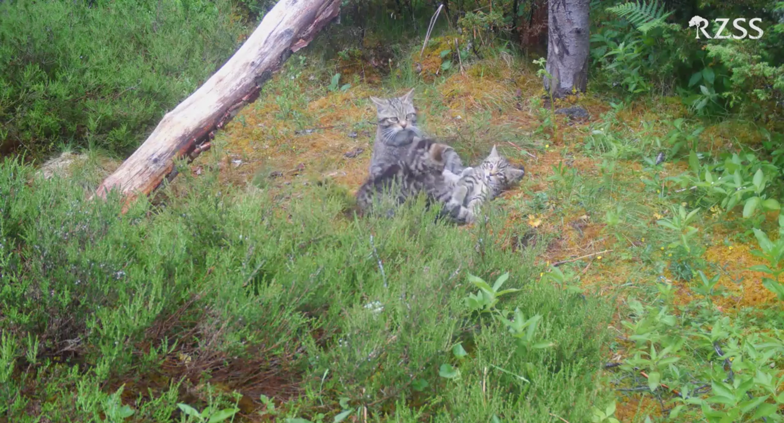Second time mother Lossie plays with her kittens after seven were delivered to the Highland Wildlife Park to her and her own offspring Katrine