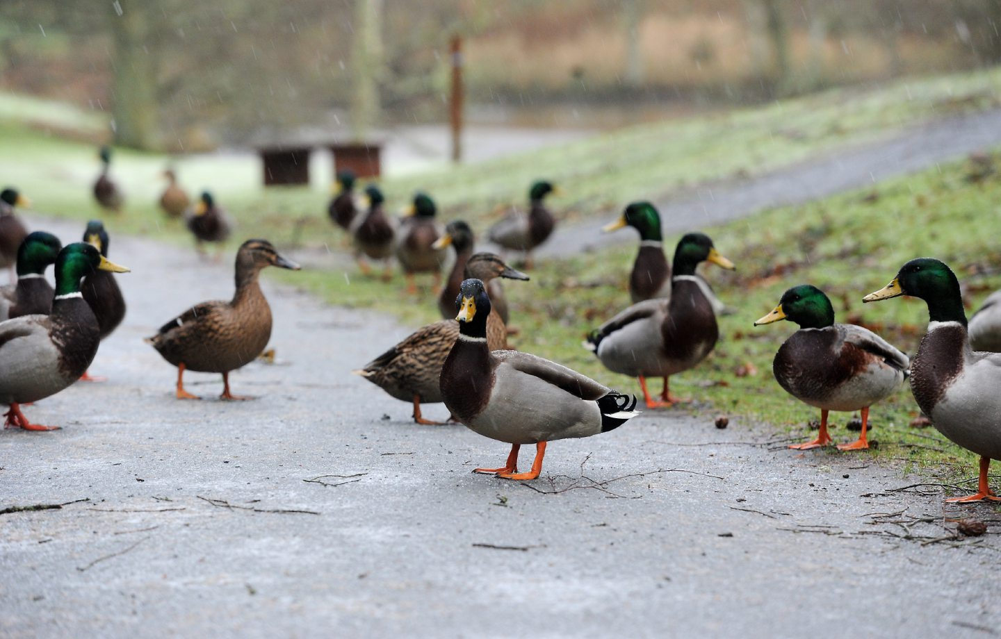 Haddo's  ducks that inhabit the park's pond.  18/12/11  Picture by Richard Frew.