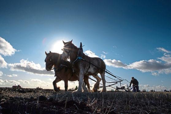 Montrose ploughman Davie Duncan puts his horses through their paces at Bowhouse Farm, St Monans.