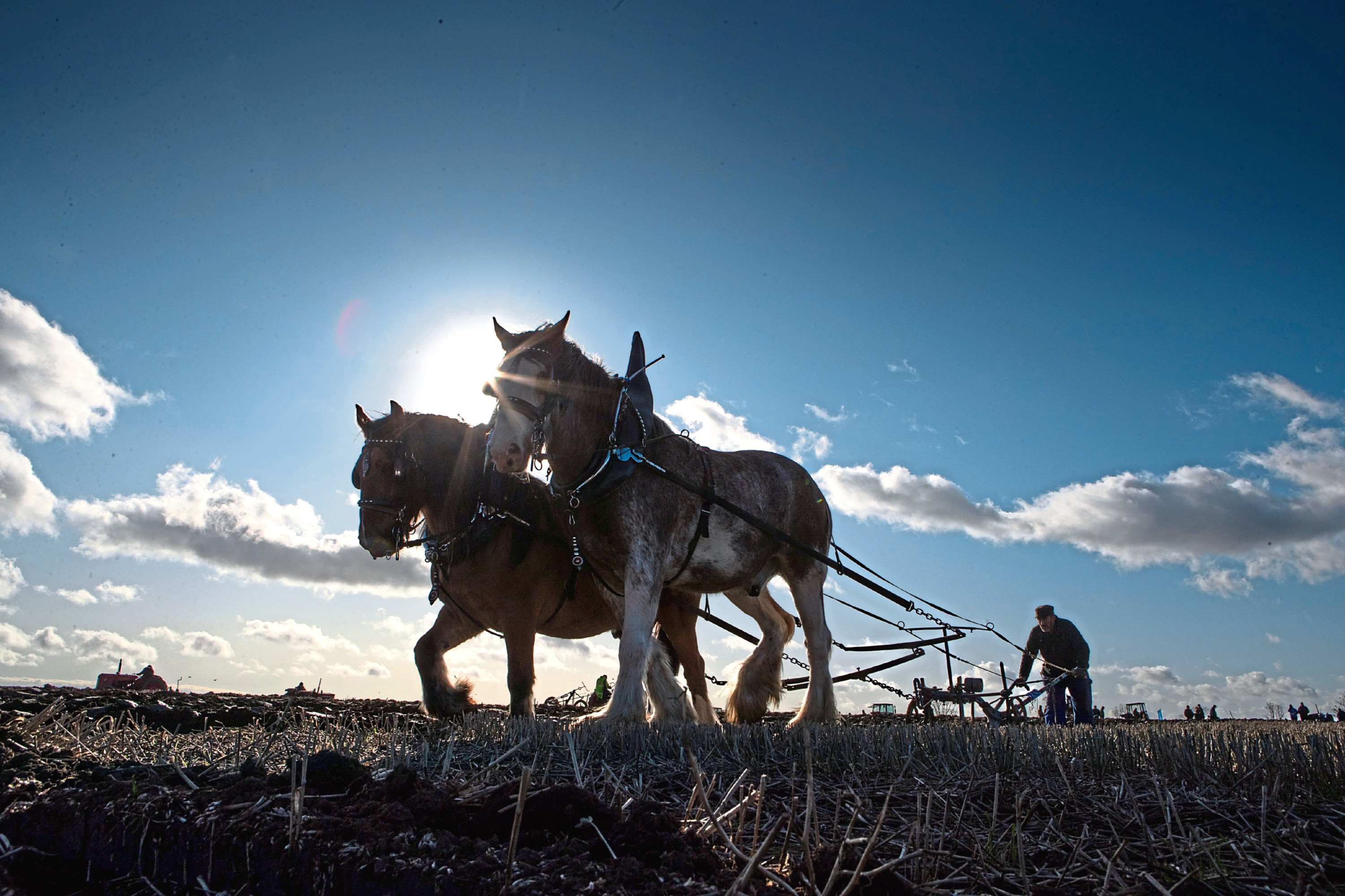 Montrose ploughman Davie Duncan puts his horses through their paces at Bowhouse Farm, St Monans.