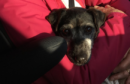 Angie Fraser is searching for her black and brown Jack Russell cross, who may respond to the name Morag.