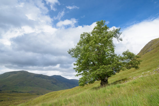 """""""The Last Ent of Affric"""", in Glen Affric has been named as Scotland's Tree of the Year for 2019"""