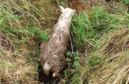 Woolma the sheep fell into a ditch