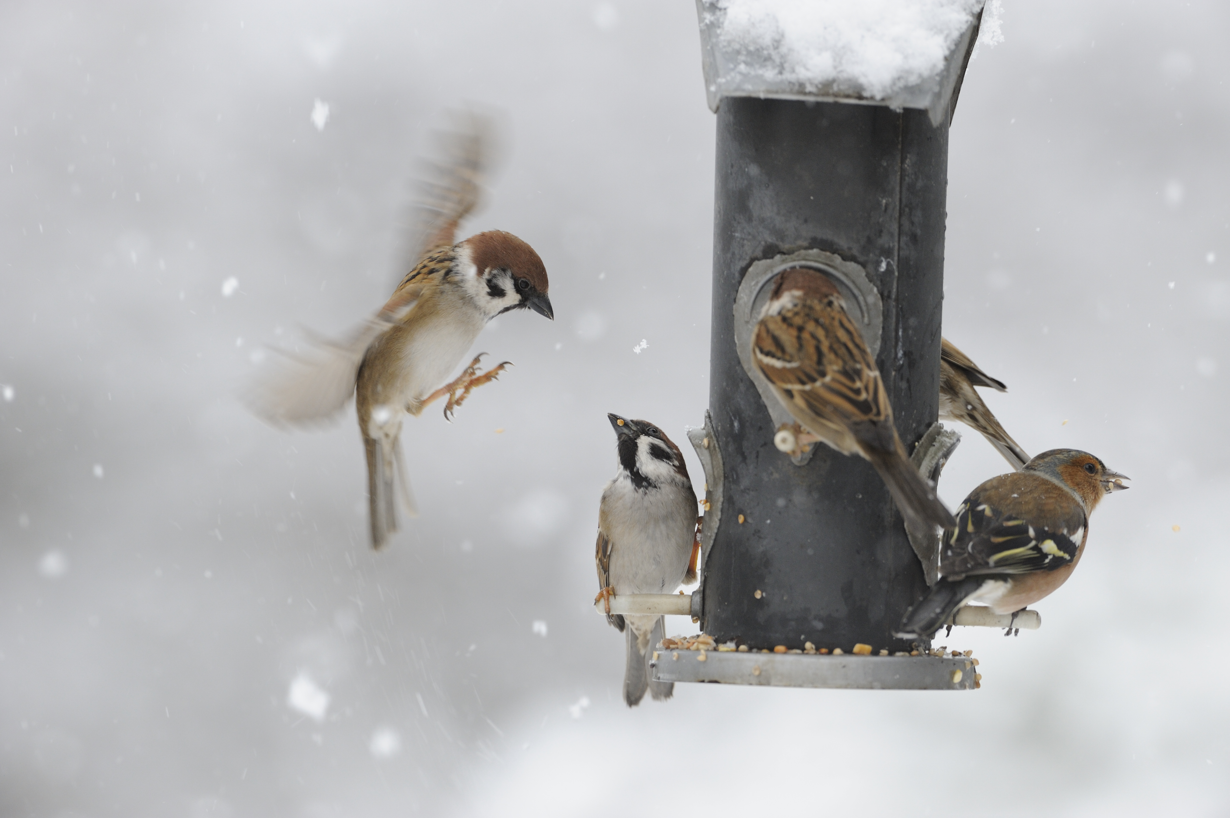 Garden birds, feeding on garden feeders, Wolfhill, Perthshire. Credit: Lorne Gill