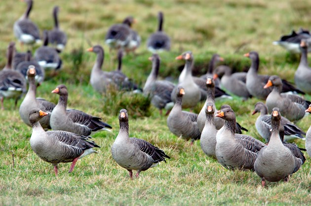 NFU Scotland wants continued financial support for farmers to help manage geese populations in the Scottish islands.