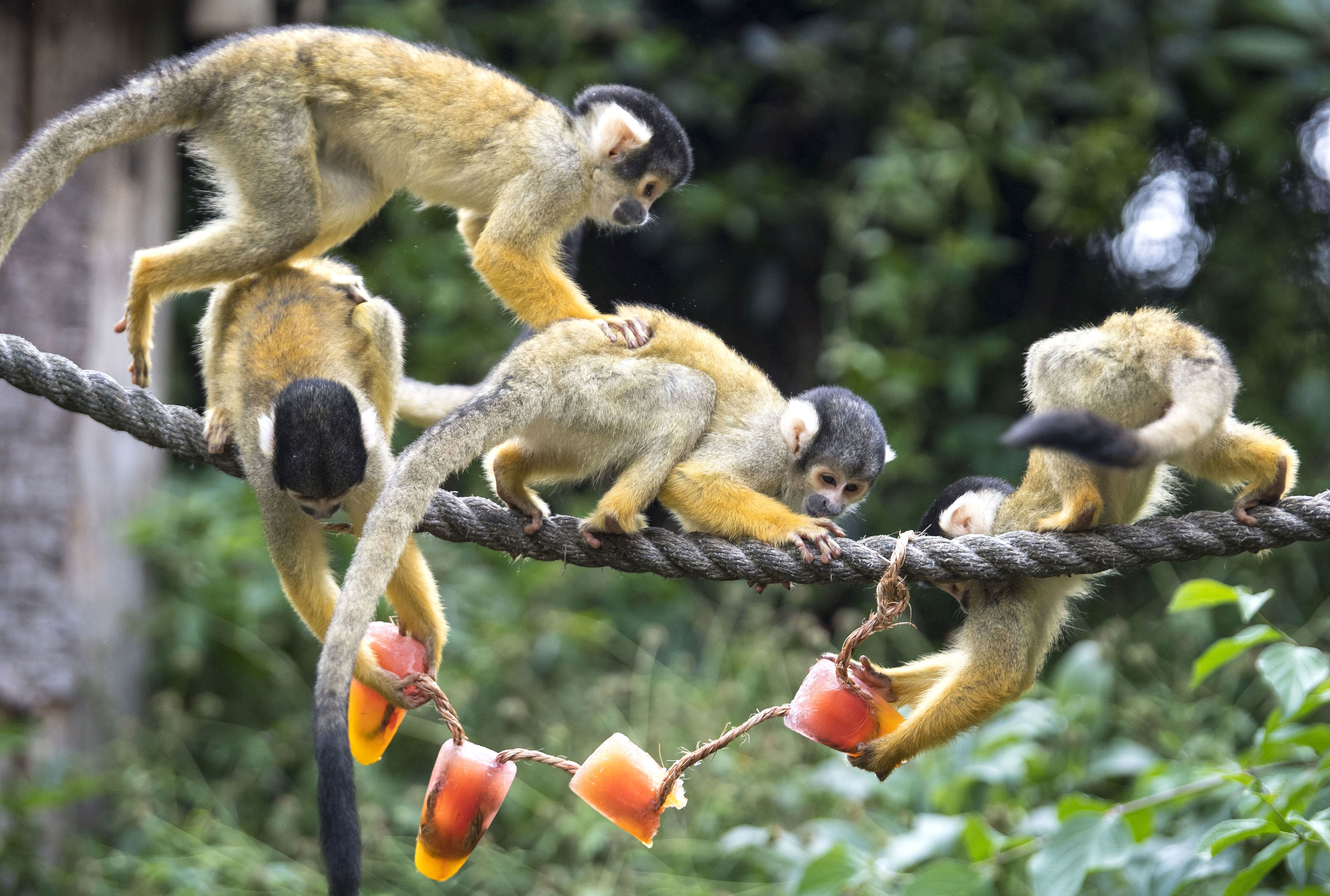 Squirrel monkeys cool off at ZSL London Zoo