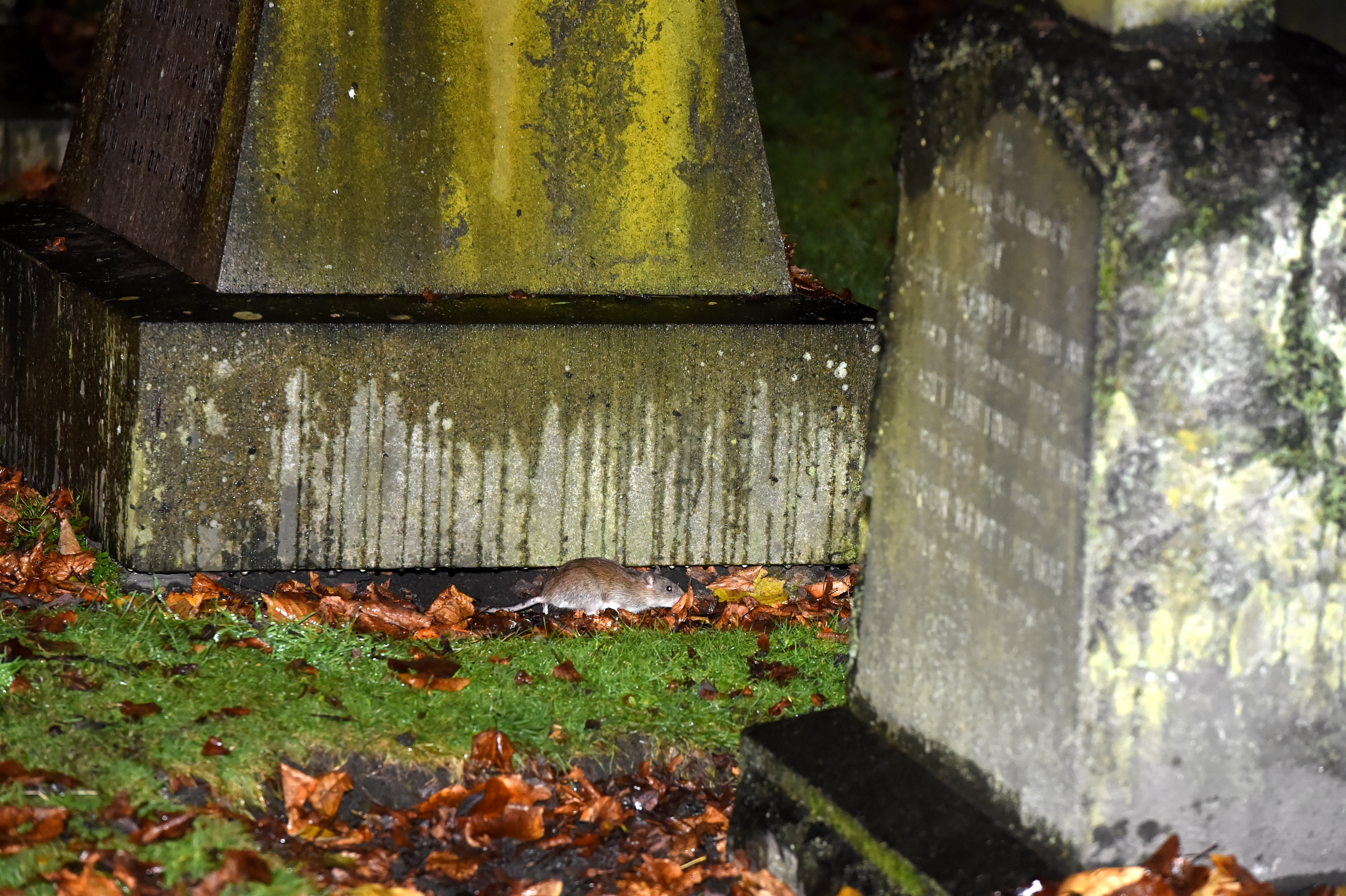 One rodent in the graveyard.  Picture by KENNY ELRICK