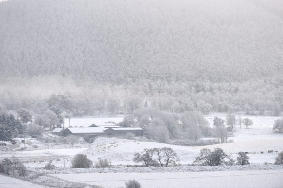 Picture by SANDY McCOOK   8th November '19  Snow covers the fields as sheep graze on turnips at Balliefurth, Nethy Bridge.