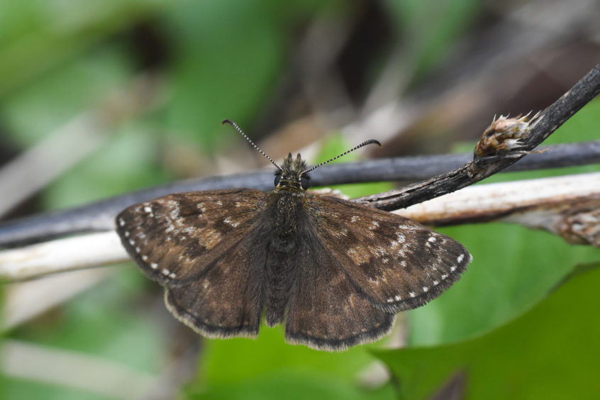 The Dingy skipper butterfly