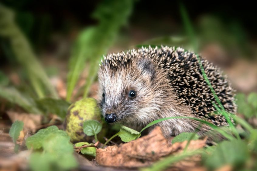 Hedgehogs are among the  species identified as vulnerable by WWF Scotland.