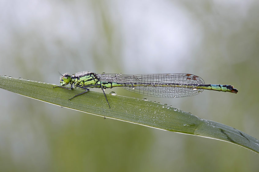 The northern damselfly, also called a spearhead bluet.