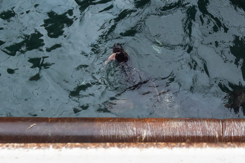 A seal eating some left overs near the BF800 Vessel moored up at Fraserburgh Harbour. Pictures by JASON HEDGES