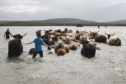 Angus MacDonald moves his pedigree Highland Cattle across the bay at low tide from North Uist to the uninhabited island of Vallay where the cattle will winter.